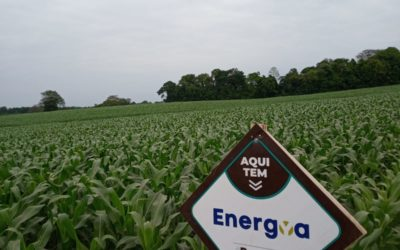 Milho promissor em Alegria-RS após a utilização de ENERGYA